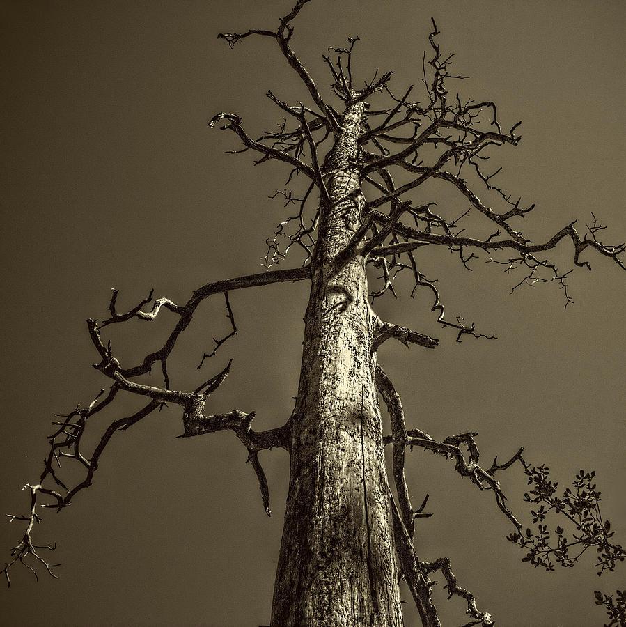 Skeletal Tree Sedona Arizona Photograph