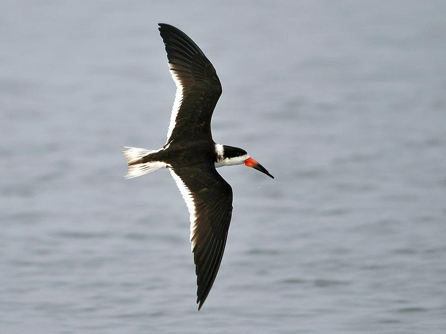 Black Skimmer Photograph - Skimmer In Flight by Al Powell Photography USA