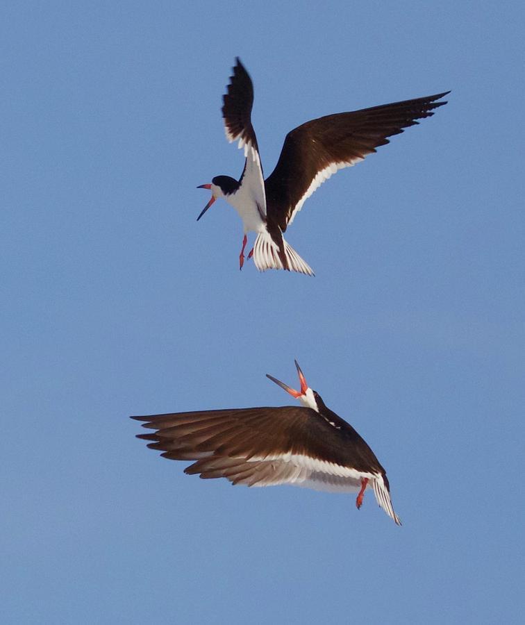 Skimmers In Flight Photograph by John Kearns