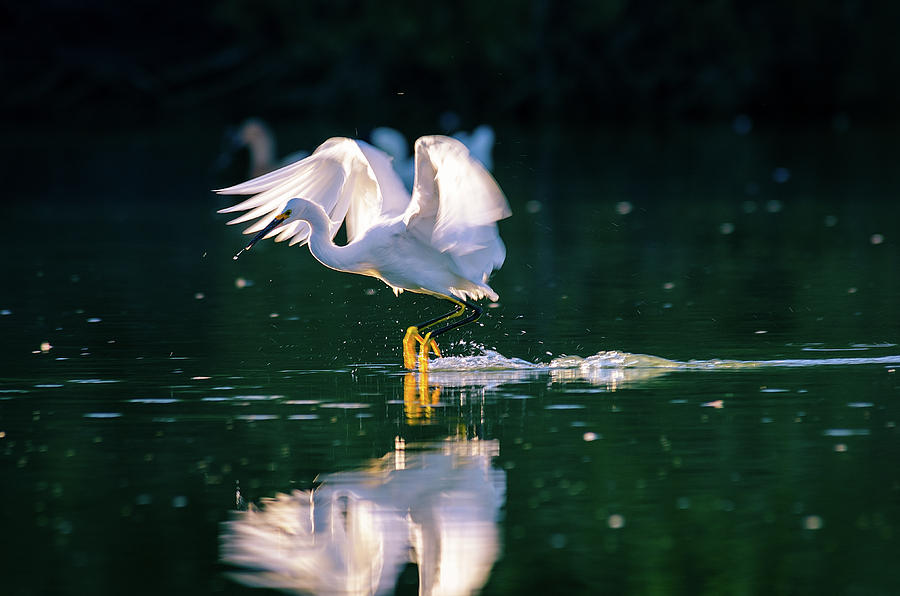 Bird Photograph - Skimming by Emily Bristor
