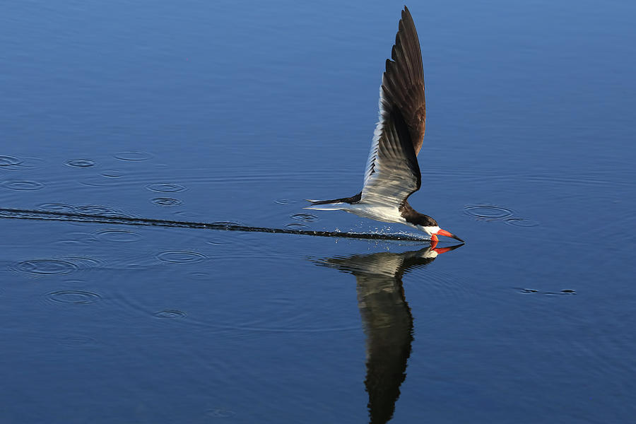Black Skimmer Photograph - Skimming Off The Top by Donna Kennedy