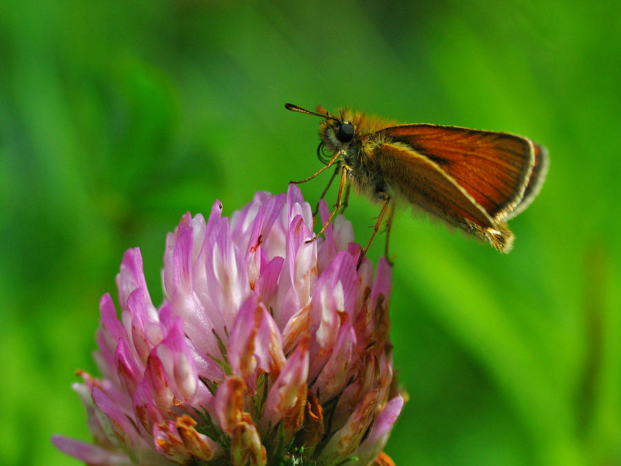 Butterfly Photograph - Skipper by Juergen Roth