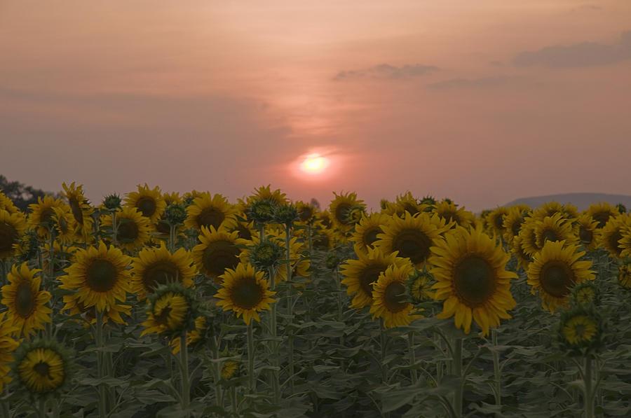 Sun Photograph - Skn 2176 Sunset Over Sunflower Fields by Sunil Kapadia