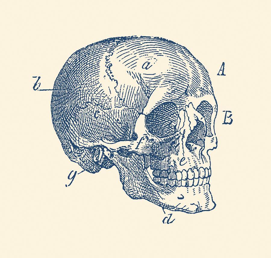 Skull Diagram - Vintage Anatomy Poster Drawing by Vintage Anatomy Prints