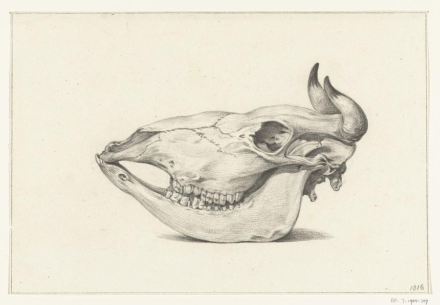 Attractive Cow Skull Anatomy Model - Human Anatomy Images ...