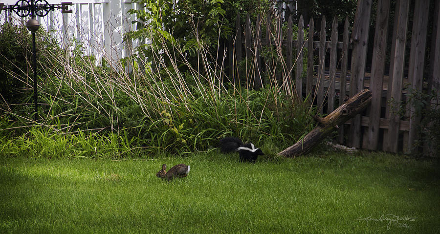 Skunk Photograph - Skunk And Rabbit Surprise by Karen Casey-Smith