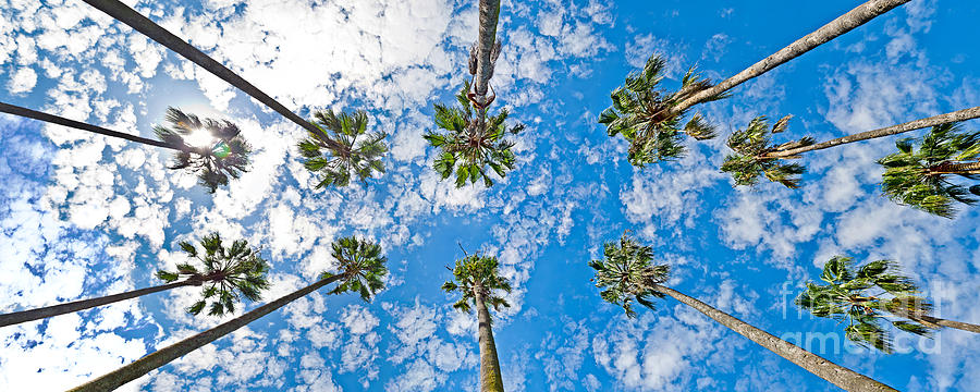 Palm Trees Photograph - Skyward Palms by Az Jackson