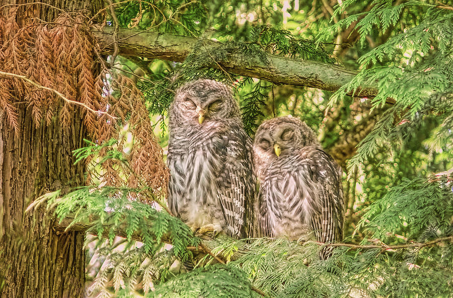 Owl Photograph - Sleeping Barred Owlets by Jennie Marie Schell