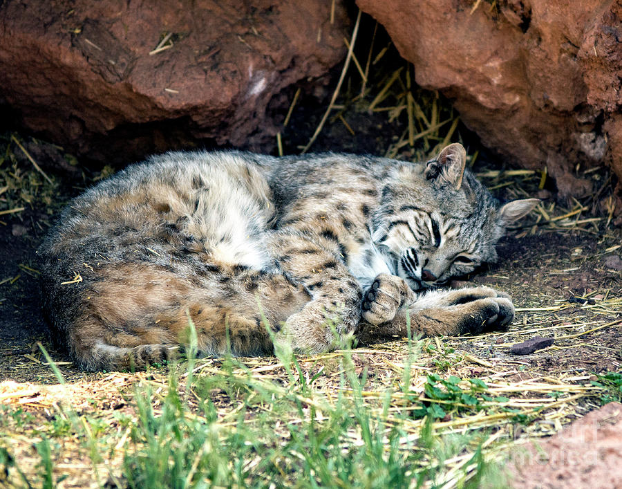 Bobcat Photograph - Sleeping Bobcat by Eric Killian