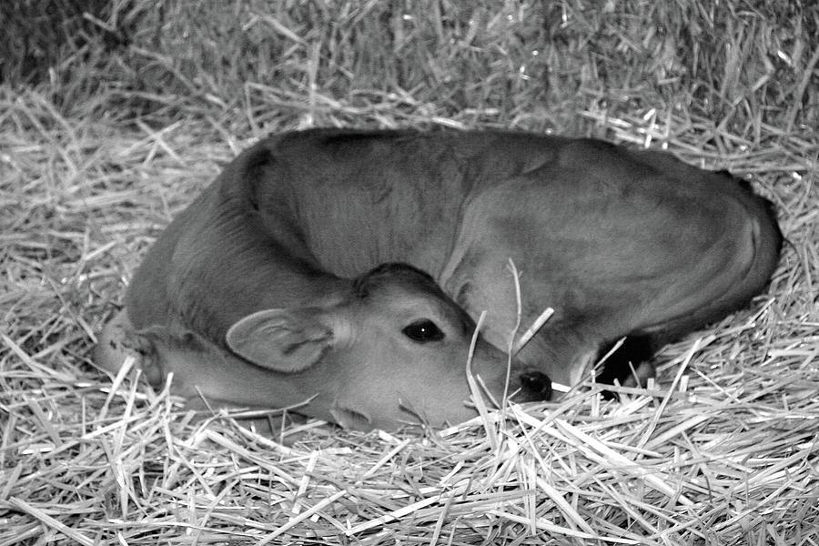 Sleeping Calf by Jenny Mead