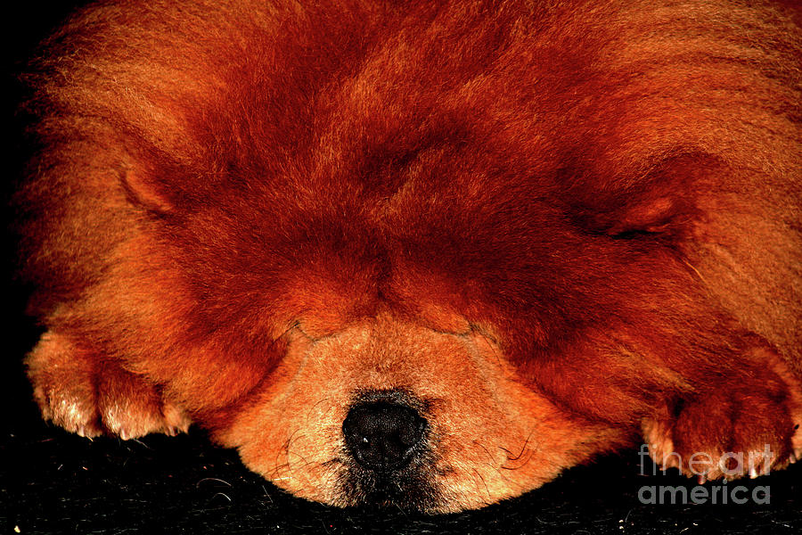 Dog Photograph - Sleeping Chow Chow by Alan Harman