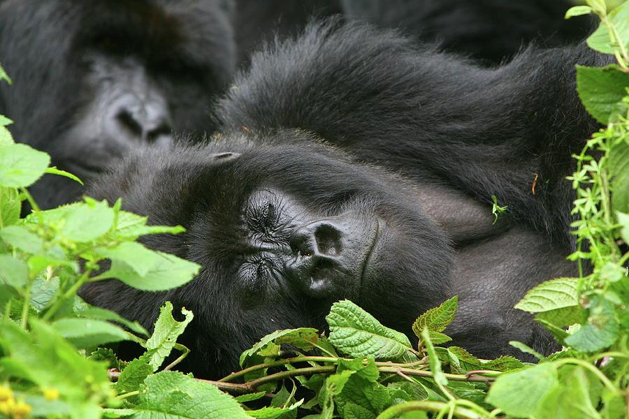 Gorilla Photograph - Sleeping Giant by Bruce J Robinson