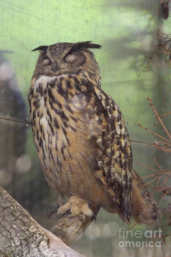 Sleeping Great Horned Owl Photograph