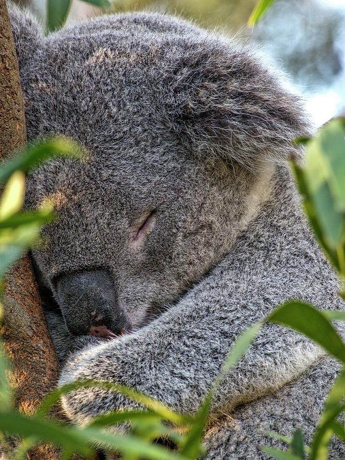Koala Photograph - Sleeping Koala - Canberra - Australia by Steven Ralser