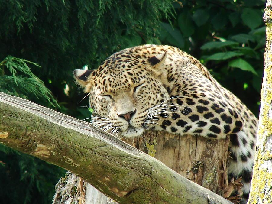 Leopard Photograph - Sleeping Leopard by Nicola Butt