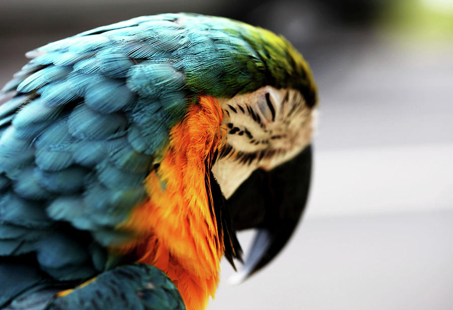 Macaw Photograph - Sleeping Macaw by Dan Pearce