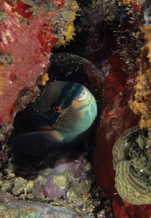 Animal Photograph - Sleeping Princess Parrotfish In Cocoon by Don Kreuter