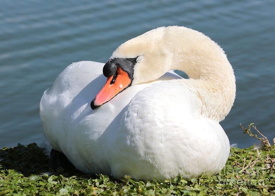 The Sleeping Swans >> Sleeping Swan 2 By Carol Groenen