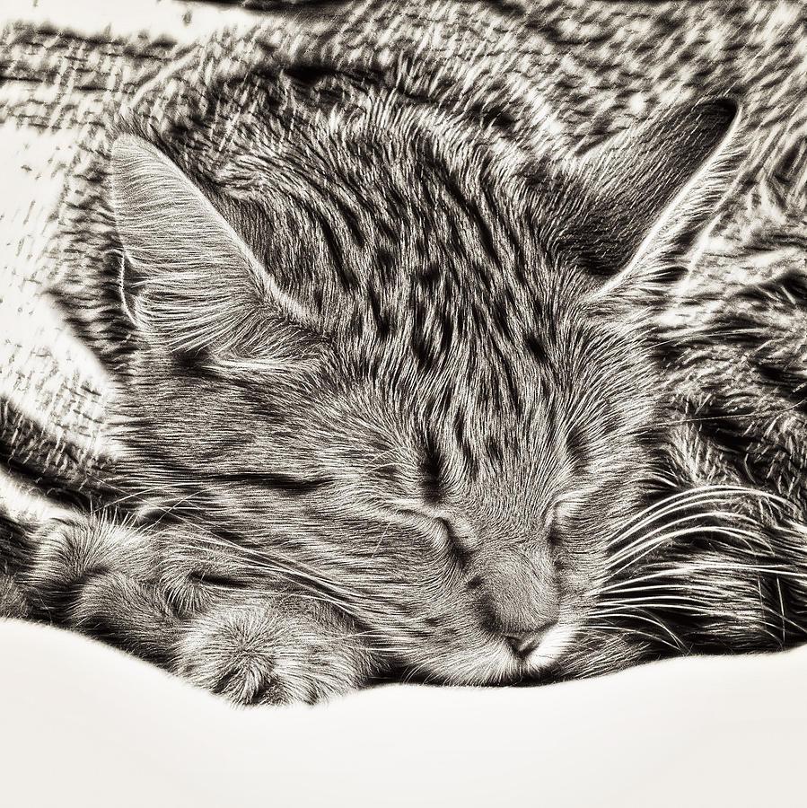 Alive Photograph - Sleeping Tabby by Tom Gowanlock