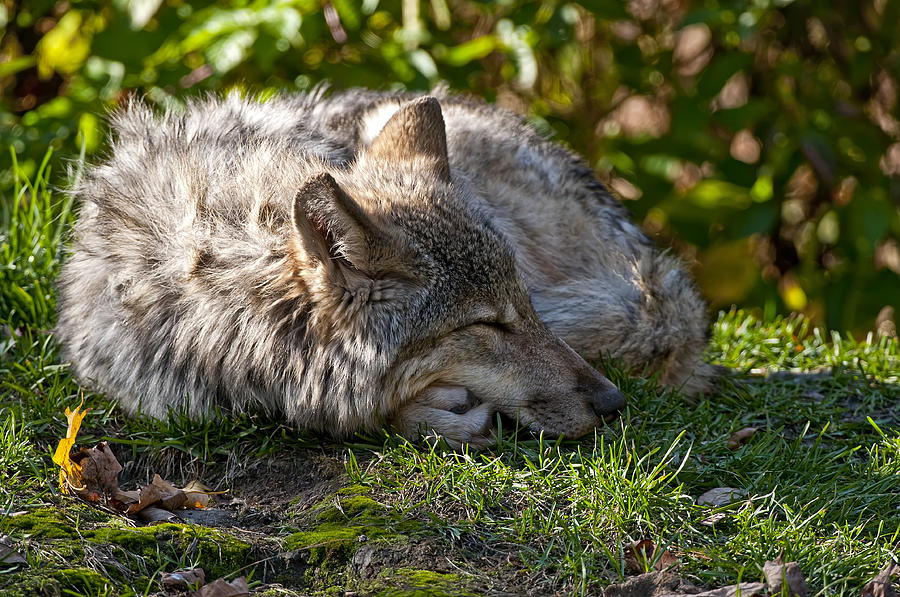 Michael Cummings Photograph - Sleeping Timber Wolf by Michael Cummings
