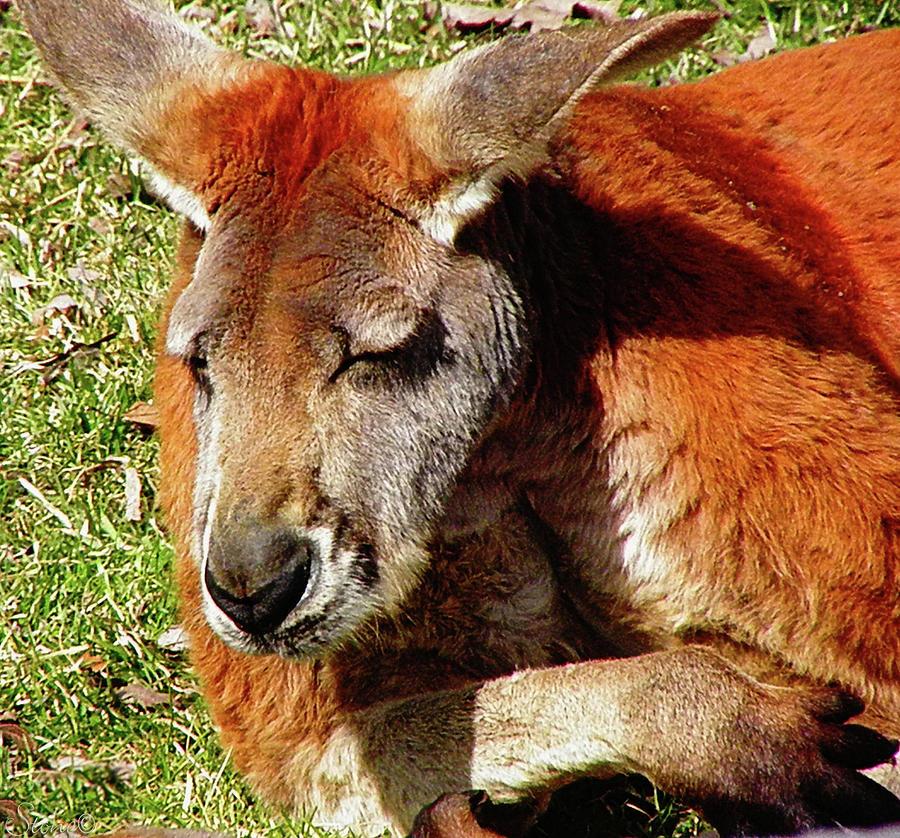 Kangaroo Photograph - Sleepy by September  Stone
