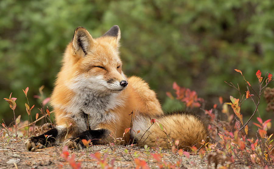Fox Photograph - Sleepy Fox by Martina Schneider