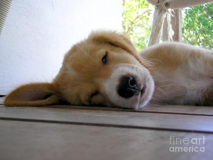 Dog Photograph - Sleepy Jojo by Barbara Marcus