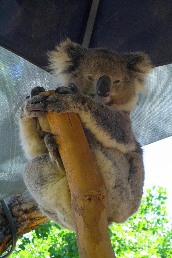 Sleepy Koala 4 Photograph