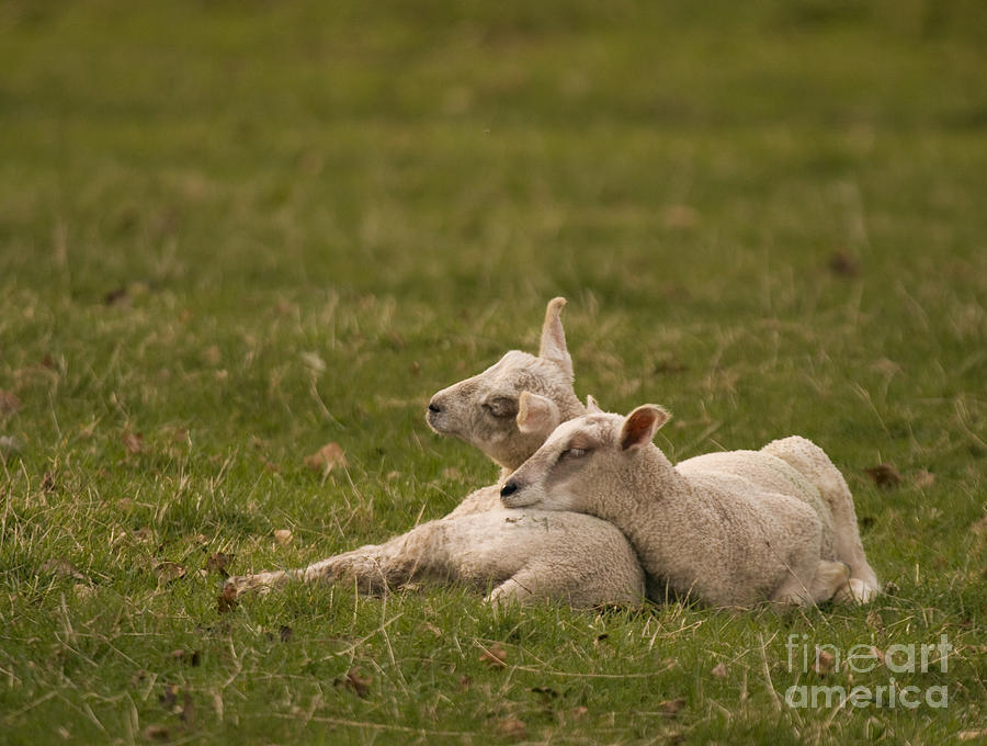 Lamb Photograph - Sleepy Lamb by Angel Ciesniarska