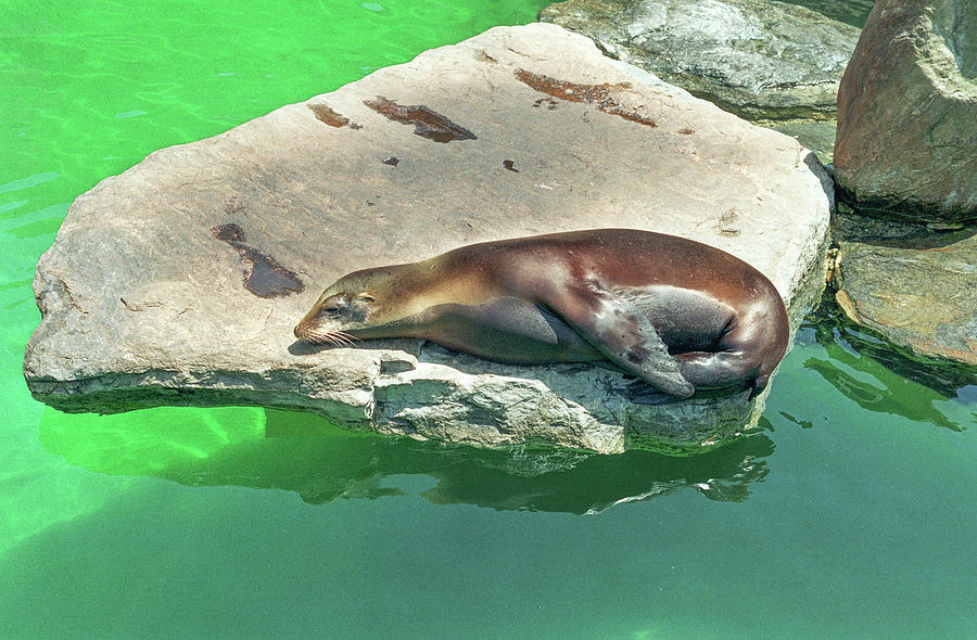Sleepy Sea Lion by Tom Potter