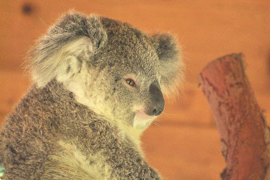 Koala Photograph - Sleepy Time by Margaret Augustine