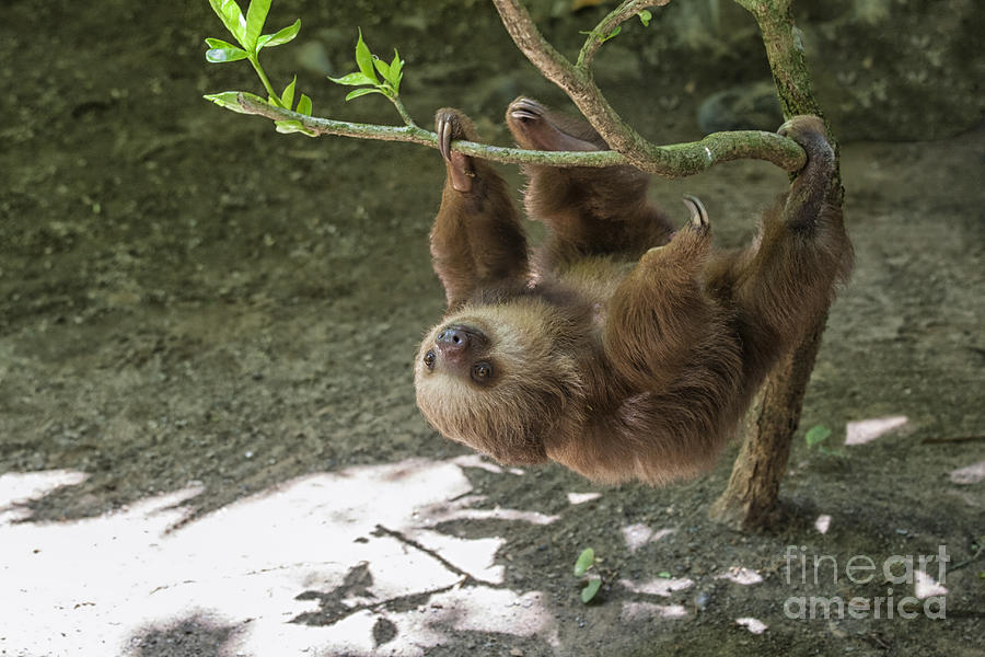 Sloth In Tree Photograph