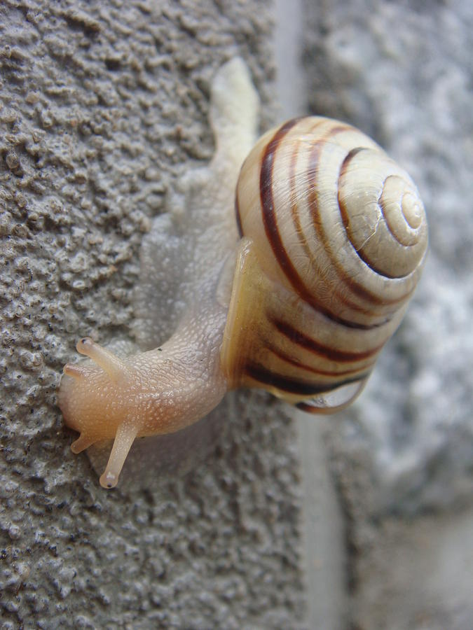 Snail Photograph - Slow And Steady by Patricia M Shanahan