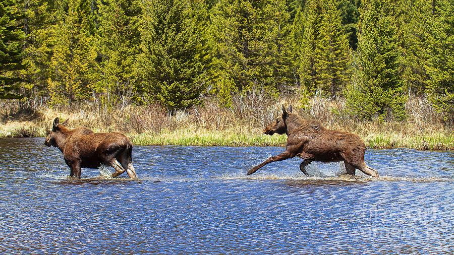 Moose Photograph - Slow Down by Jim Garrison