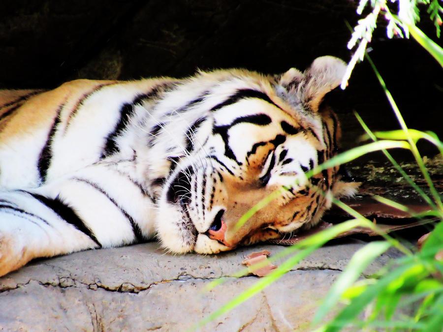 Tiger Photograph - Slumber by Stephanie Schneider