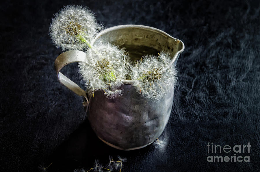 Small Antique Tin Pitcher Of Dandelion Puffs Photograph