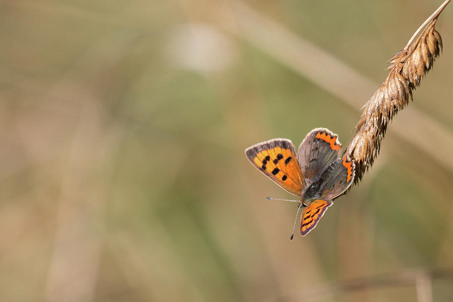Small Copper Butterfly Photograph