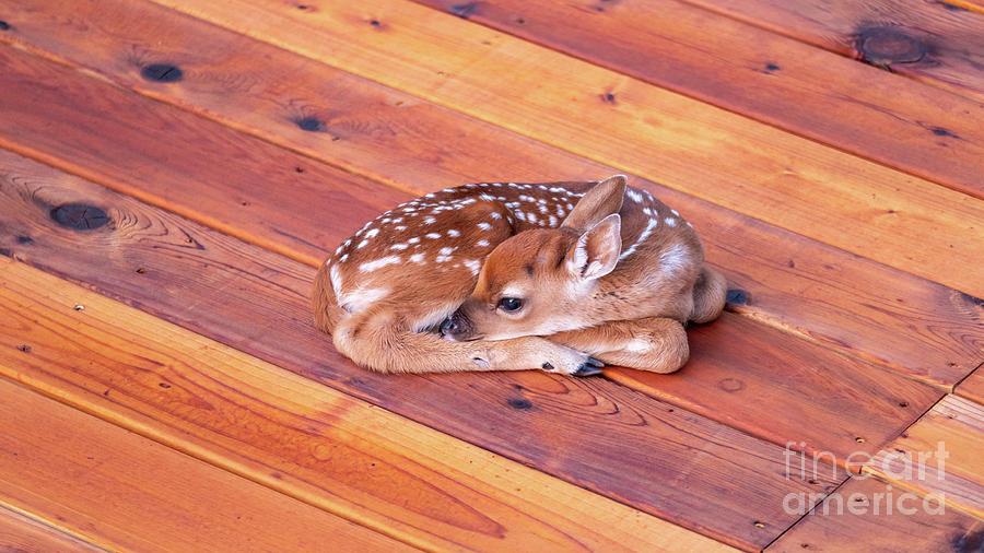 Dawn Photograph - Small Deer Fawn Resting On Cedar Wood Deck by PorqueNo Studios