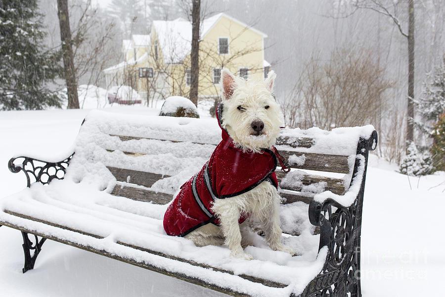 Dog Photograph - Small Dog Park Bench Snow Storm by Edward Fielding