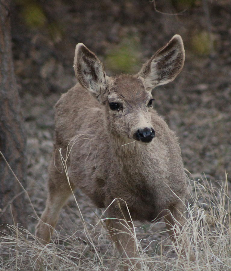 Deer Photograph - Small Fawn In Tombstone by Colleen Cornelius