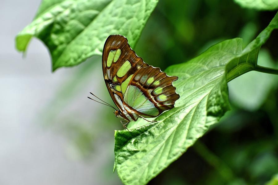Butterfly Photograph - Small Green by Johanne Daniel