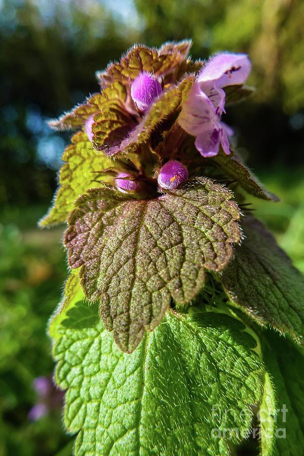 Botanical Photograph - Small Mauve Flowers 7 by Jean Bernard Roussilhe