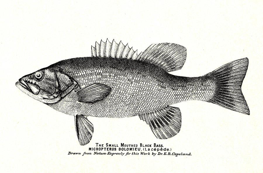 Small Mouth Black Bass Victorian 1880s Print Drawing By Peter