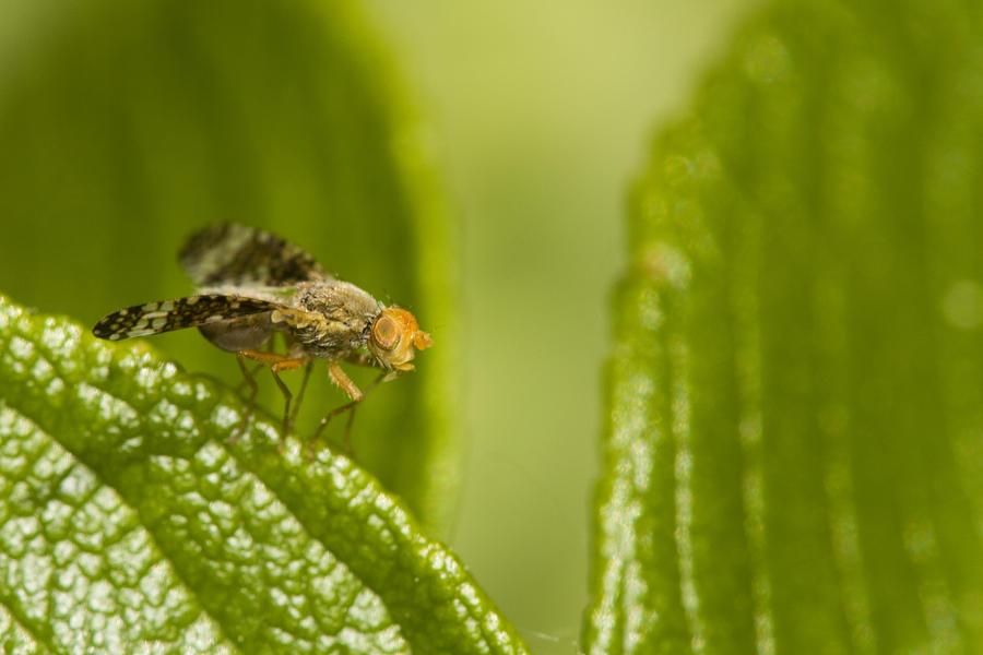 Fly Photograph - Small Orange Fly by Jouko Mikkola