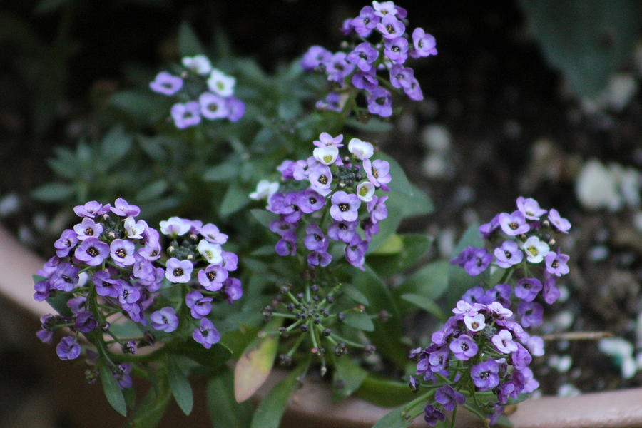 Small Purple And White Flowers Photograph By Kimberly Wood