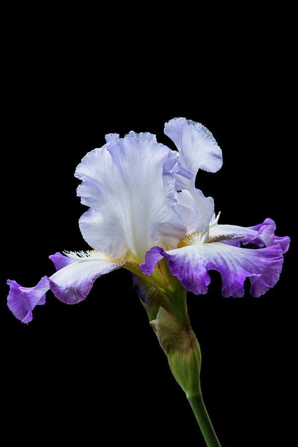 Small Purple and White Iris by m