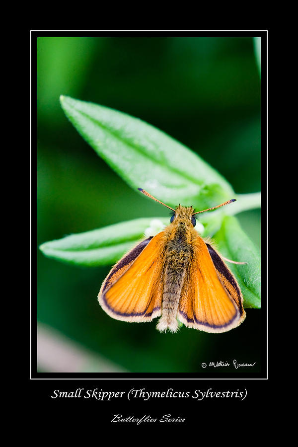 Small Skipper Photograph - Small Skipper   Thymelicus Sylvestris by Mathias Rousseau