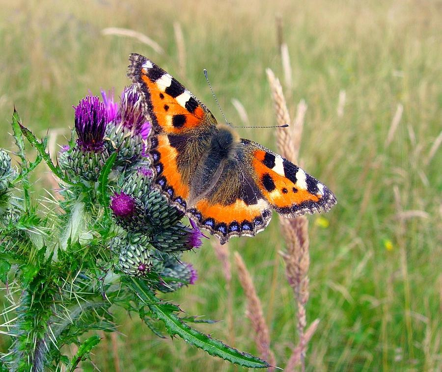 Horizontal Photograph - Small Tortoiseshell Butterfly by Photo by Suzanne Rowcliffe (suzanne.rowcliffe@gmail.com)