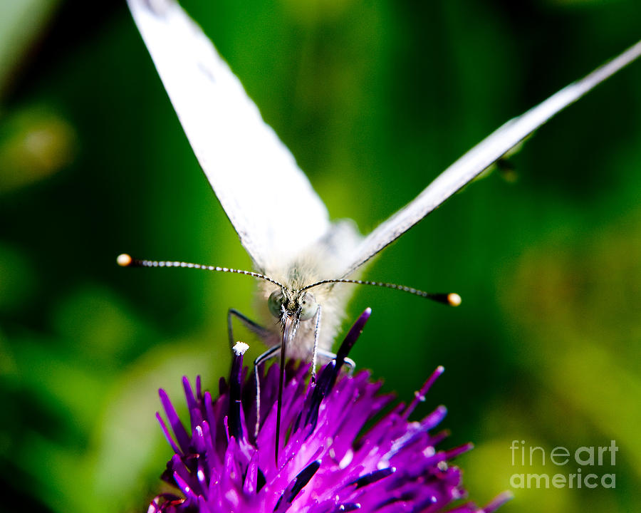 Nature Scenes Photograph - Small  White Cabbage Butterfly Pieris Rapae by Chris Smith