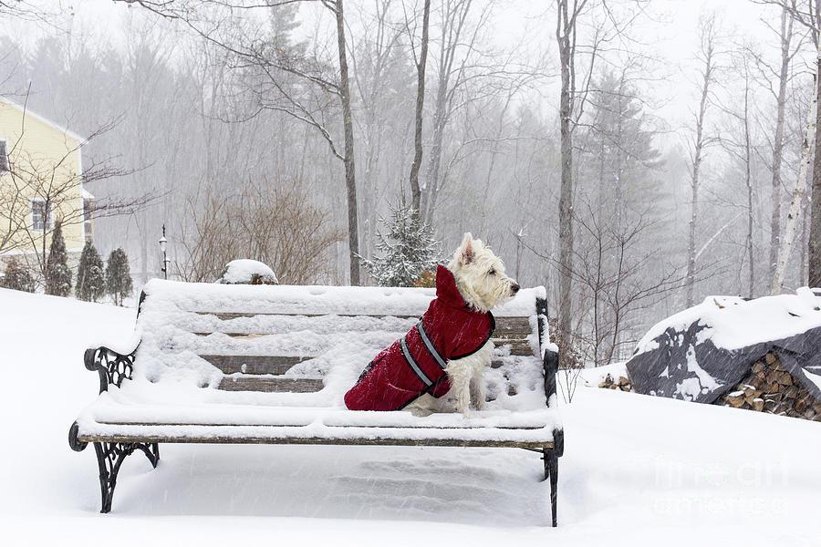 Peachy Small White Dog In Snow Storm On Bench Frankydiablos Diy Chair Ideas Frankydiabloscom